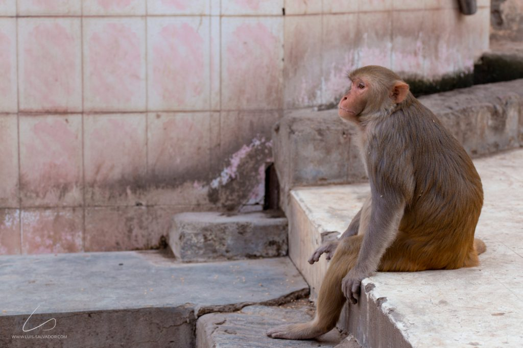 """A Monkey's Life"" - Monkey's Temple, India. 2018 © Luís Salvador"